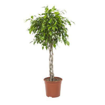 Ficus Exotica Gevlochten 100 cm