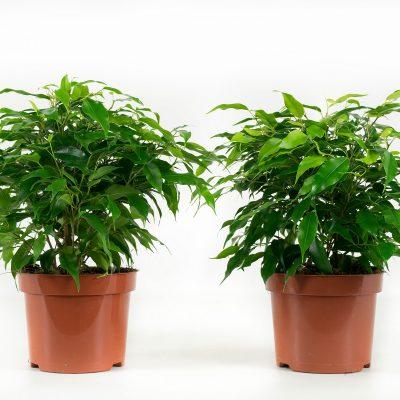 Ficus Green Kinky Duo