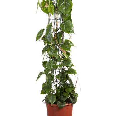 Philodendron scandens 100 cm