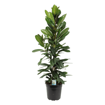 Ficus Tresor