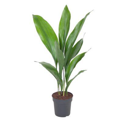 Aspidistra kamerplanten en bureau planten