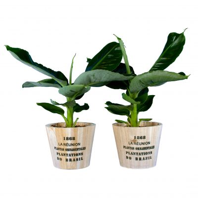 Duo Banana Plant Musa met pot