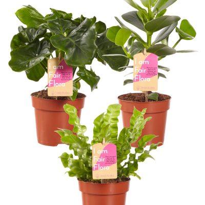 Luchtzuiverende mix, Clusia, Asplenium, Philodendron