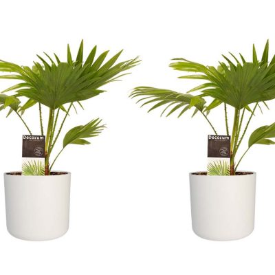 Duo Livistona Rotendifolia met Elho pot