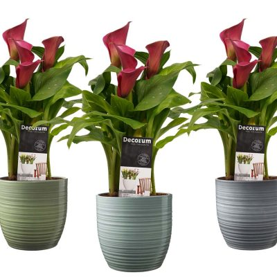 Zantedeschia Roze in Bergamo keramiek (3 stucks)